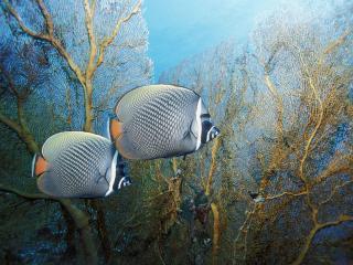 обои Две серые рыбки под водой фото