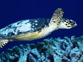 обои Черепаха плывет фото