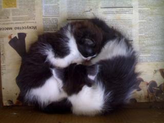обои ИНЬ ЯНЬ котята фото