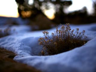 обои Растение пробившиеся через снег фото