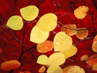 обои для рабочего стола: Желтые листья на фоне красных деревьев