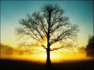 обои Силуэт весеннего дерева на солнце фото