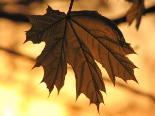 обои Умирающий осенний листочек фото