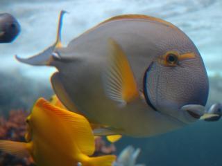 обои Белые и желтые рыбки фото