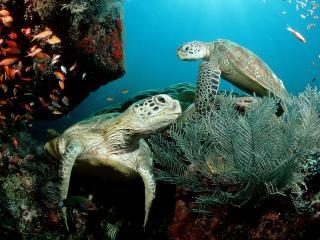 обои Морские черепахи под водой фото