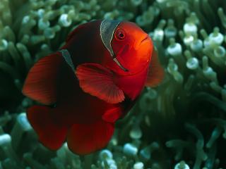 обои Красные рыбы на голубоватом фоне фото