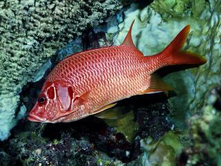 обои Красноватая рыба под водой фото