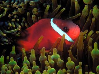 обои Красная рыбка в водорослях фото