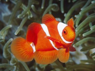 обои Красно-белая рыбка фото