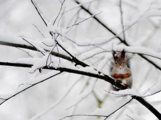 обои Белка в снегу фото