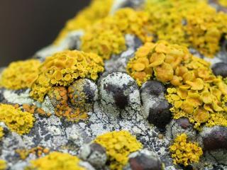 обои Желтые грибы на коре березы фото