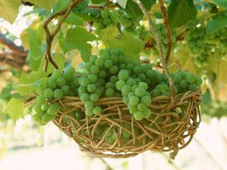 обои Виноград зелёный фото