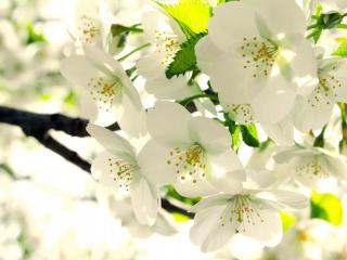 обои Яблоня в белом цвету фото