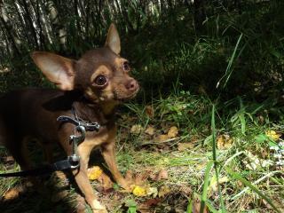 обои Той - терьер в лесу фото