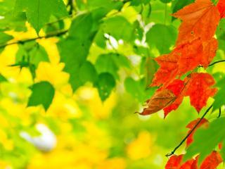 обои для рабочего стола: Красно-зелёные листья