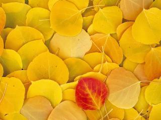 обои Желтые листья фото