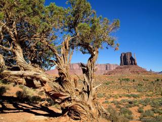 обои для рабочего стола: Одинокое дерево в американской пустыне
