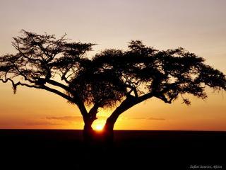 обои Одинокое дерево на закате, в саванне фото