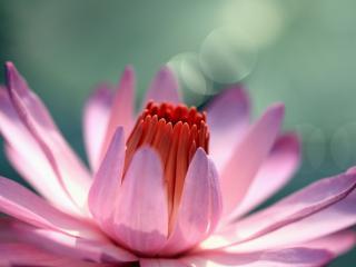 обои Розовый цветок фото
