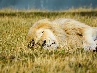 обои для рабочего стола: Сонный лев