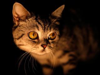 обои для рабочего стола: Глазастая кошка