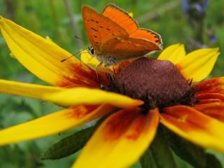 обои Оранжевая бабочка на желтом цветке. Мое фото фото