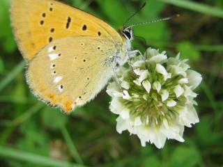 обои Бабочка на цветке клевера фото