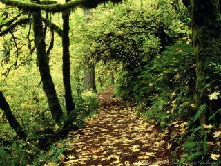обои Тропинка в густом зеленом лесу фото
