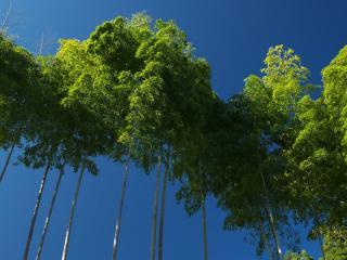 обои Кроны деревьев на фоне голубого неба фото