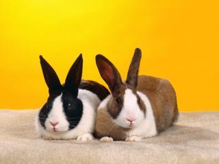 обои Два кролика фото