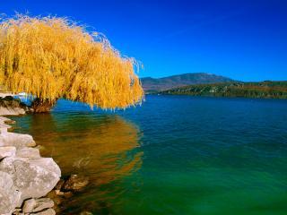 обои Пожелтевшая  ива над озером фото