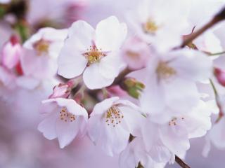обои Весенний цвет на дереве,   цветки фото