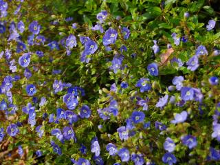 обои Множество маленьких синих цветочков фото