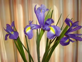 обои Просто цветки ириса фото