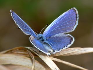 обои Голубая бабочка фото
