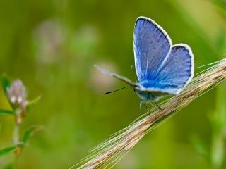 обои Голубая бабочка,   колосок фото