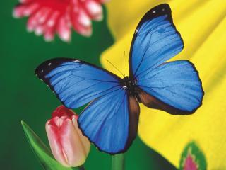 обои Голубая бабочка,   тюльпаны фото