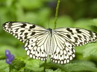 обои Грациозная чернобелая бабочка фото