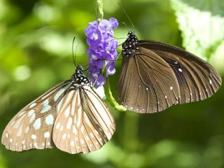 обои Две бабочки,   он и она фото