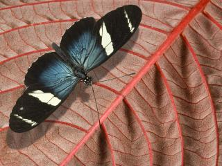обои Красивая бабочка на красном листе фото