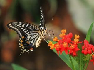 обои Красивая бабочка на красных цветах фото