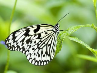 обои Красивая черно белая бабочка фото