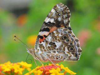 обои Мохнатая бабочка в профиль фото