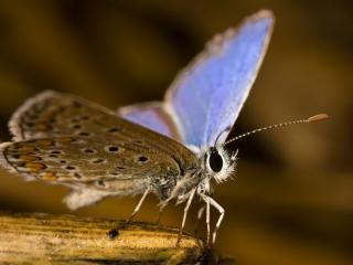 обои Мохнатая бабочка,   крылышки с голубизной фото