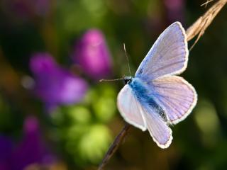 обои Мохнатая голубая бабочка на веточке фото