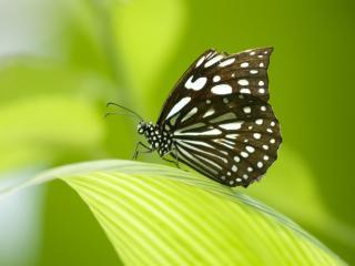 обои Пятнистая бабочка на зеленом листе фото