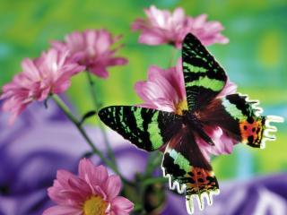 обои Разноцветная бабочка,   розовые цветы фото