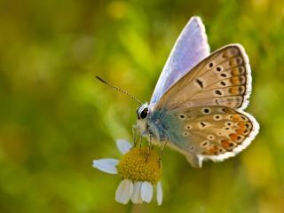 обои Симпатичная бабочка на ромашечке фото