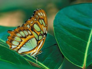 обои Цветная бабочка на листьях фото