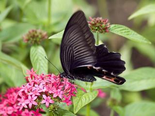 обои Черная бабочка,   розовые цветки фото